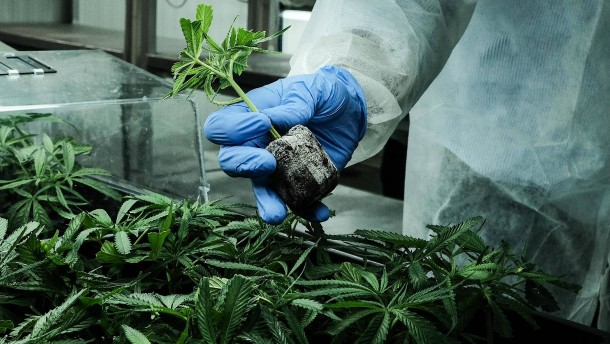 Cannabis-Nachfrage steigt rasant