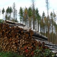 Abgeholzt und zu Stapeln geschlichtet: abgestorbene Fichten im Wald bei Spangenberg