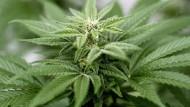 Anders als oftmals angenommen, ist der medizinische Nutzen von Cannabinoiden in nur wenigen Fällen erwiesen.