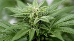 Schlechtes Zeugnis für Cannabis