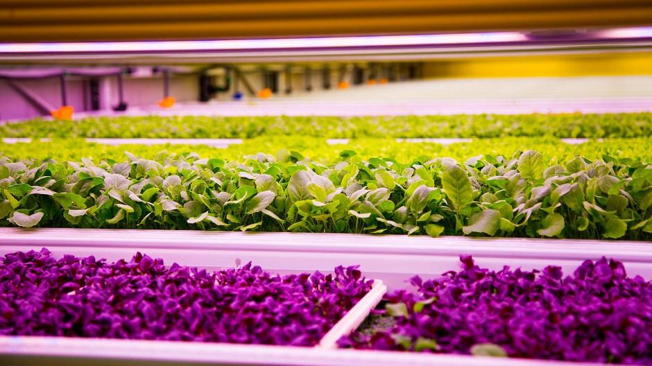 Künstliches Licht: Indoor-Farming ist energieintensiv.