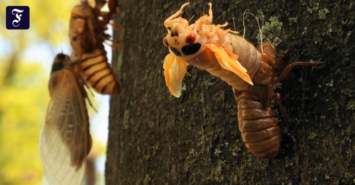 USA: Alle 17 Jahre schlüpfen die Zikaden