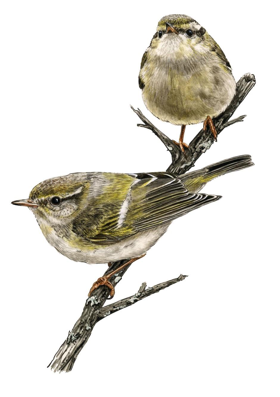 Rastloser Irrgast: Von den sibirischen Zugvögeln erscheint der Gelbbrauen-Laubsänger am häufigsten in Mittel- und Westeuropa.