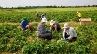 Knochenjob Erdbeeren pflücken: Die meisten Erntehelfer auf den Feldern von Willi Billau kommen aus Rumänien.