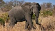 Der Afrikanische Elefant gilt als bedrohte Art