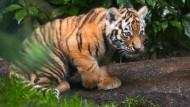 Hamburger Zoo freut sich über Tigerbabys