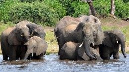 Jagd auf Elefanten beginnt