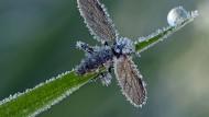 Eiskalt erwischt: eine Märzfliege mit Kristallschmuck