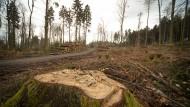 Trockenfutter: Tausende Bäume sind im Bad Homburger Stadtwald dem Borkenkäfer zum Opfer gefallen.