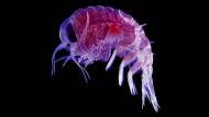 Normalerweise gehen die Flohkrebse (Lysianassid Amphipod) auf tote Fische oder Seevögel los.
