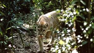 Ein Puma kommt immer allein