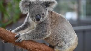 Schwere Zeiten für Koala und Seepferdchen