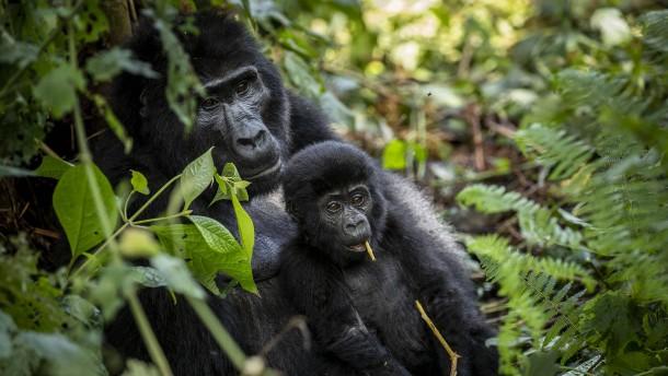 Massensterben bei Menschenaffen in Afrika befürchtet