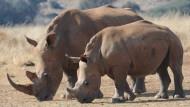 Wilderer töten die Tiere wegen ihres Horns: In Asien wird es als Heilmittel in traditioneller Medizin verarbeitet.