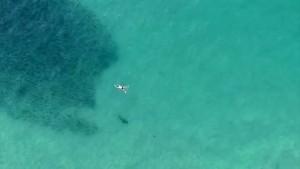 Hai und Mensch schwimmen im Schwarm