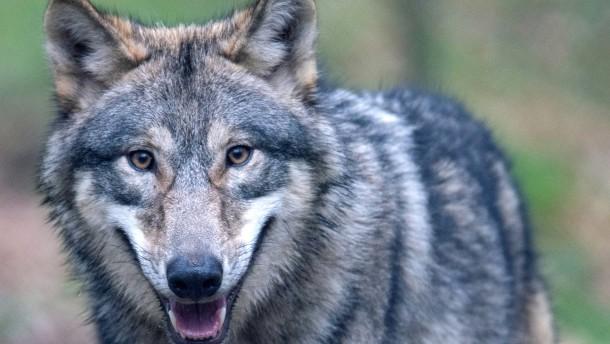 Kein zweiter sesshafter Wolf in Hessen