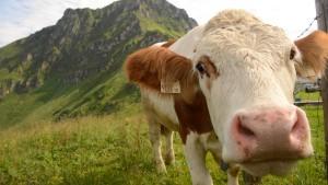Kühe sehen rot
