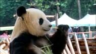 Pandabärin darf Fernsehen