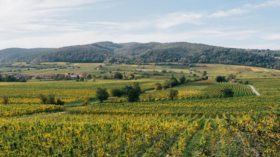 Paradiesgarten des Rieslings: Die Weinberge der Mittelhaardt gehören seit Jahrhunderten zu den Filetstücken der Pfalz.
