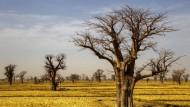 Baobabs so weit das Auge reicht.