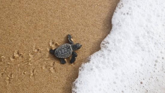Mehr Meeresschildkröten wegen Corona-Lockdown