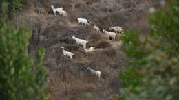 Ziegen im Kampf gegen Waldbrände