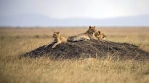 Löwen in Tansania werden umgesiedelt