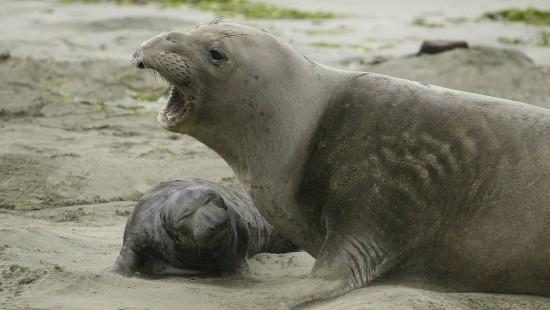 See-Elefanten übernehmen Strand in Kalifornien