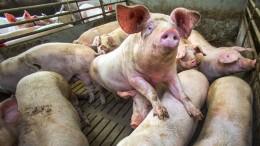 Schwein und Geflügel bringen Bauern auf Trab