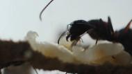 Camponotus bei der Larvenpflege