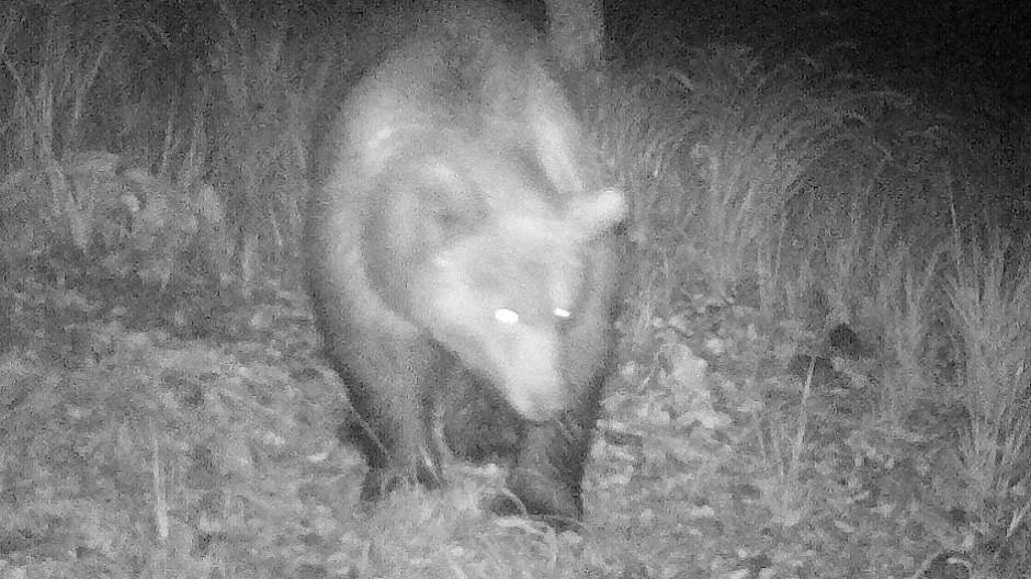 Ein Bär tappte am 1. Oktober in einem Wald in Leermoos, unweit vom Plansee, in eine Wildfotofalle.