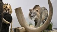 Steiler Zahn: Im Wiesbadener Museum kann man einiges über Höhlenlöwen und Mammuts lernen.