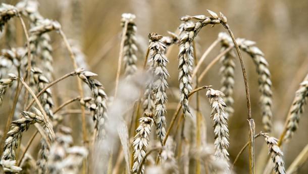 Getreidepilze auf dem Vormarsch