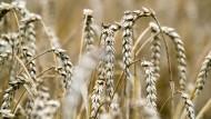 Bedrohte Weizenernte: Der Getreideschwarzrost kann ganze Landstriche ruinieren, auf denen die Gräser wachsen.