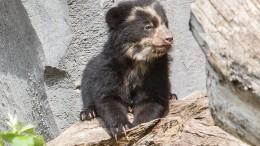 Brillenbären-Nachwuchs zeigt sich erstmals Besuchern