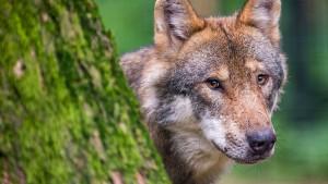 Von Wölfen und Wolfskin