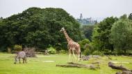 Blick nach oben: Vielleicht wissen einige der Zebras und Giraffen den Blick zur Kronberger Burg (oben) zu schätzen.