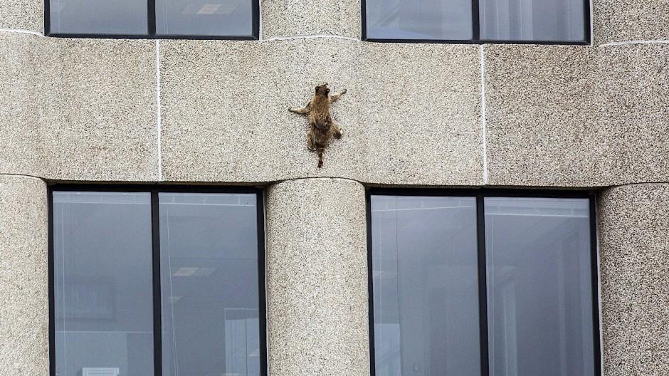 Waschbär klettert auf Hochhaus
