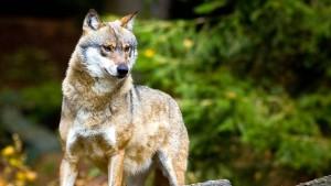 Schulze will Abschuss von Wölfen erleichtern