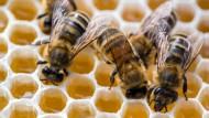 Bienen können lernen und lehren