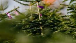 So sehr setzt die Dürre den Weihnachtsbäumen zu