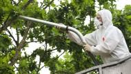 Unter Vollschutz: Die fußballgroßen Nester werden in den nächsten Wochen von Mitarbeitern einiger Spezialfirmen abgesaugt.