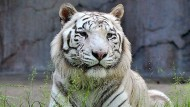 Tiger tötet Tierpflegerin