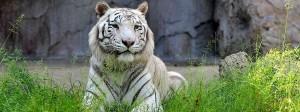 Tiger, hier allerdings in einem Zoo in Rom
