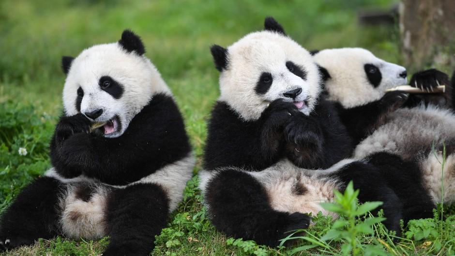 Für diese jungen Riesenpanda aus China hat sich die Frage nach der umweltfreundlichen Alternative in Sachen Zahnpflege erledigt.