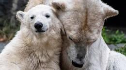 Eltern von Eisbärin Hertha sind Geschwister