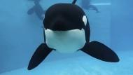 Orca Kasatka nach 39 Jahren in Gefangenschaft gestorben