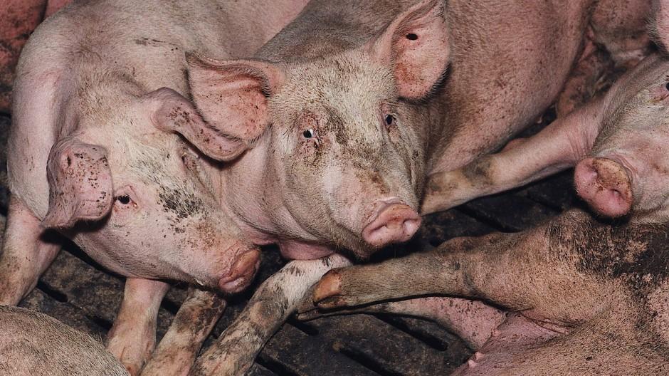 Schweine in deutscher Massentierhaltung