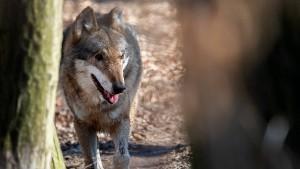 Bundesregierung will Abschuss von Wölfen erleichtern