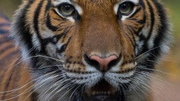 Tiger am Coronavirus erkrankt